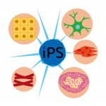 iPS-cell